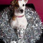 Doggie Christmas Pics - Thanks to BOWOWOW! 16