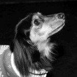 Doggie Christmas Pics - Thanks to BOWOWOW! 34