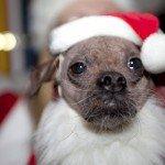 Doggie Christmas Pics - Thanks to BOWOWOW! 6