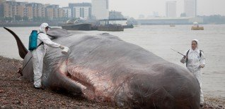17m Beached Whale Launches Free Greenwich Festival 4