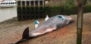 17m Beached Whale Launches Free Greenwich Festival 8