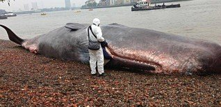 17m Beached Whale Launches Free Greenwich Festival 2