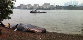 17m Beached Whale Launches Free Greenwich Festival 7