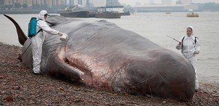 17m Beached Whale Launches Free Greenwich Festival 1