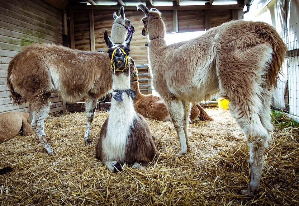 CANCEL YOUR WEEKEND PLANS and head to the Berkshire Show: It's the Year of the Llama 6