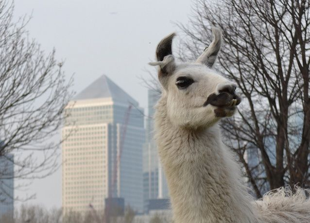 CANCEL YOUR WEEKEND PLANS and head to the Berkshire Show: It's the Year of the Llama 7