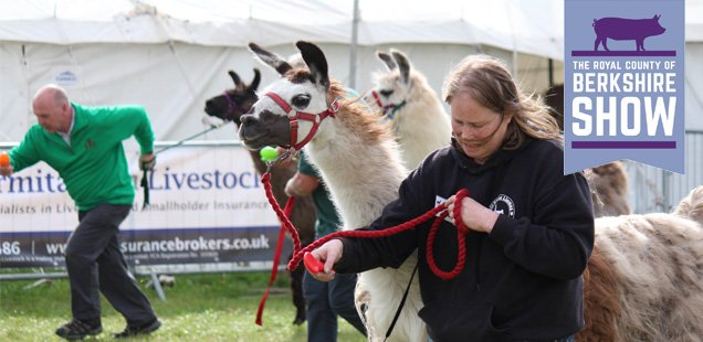 CANCEL YOUR WEEKEND PLANS and head to the Berkshire Show: It's the Year of the Llama